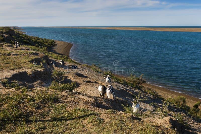 Koloni av den Magellanic pingvinet i den Valdes halvön i Argentin royaltyfri bild
