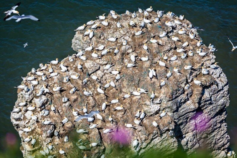 Koloni av havssulor på stenig ut skörd royaltyfria bilder