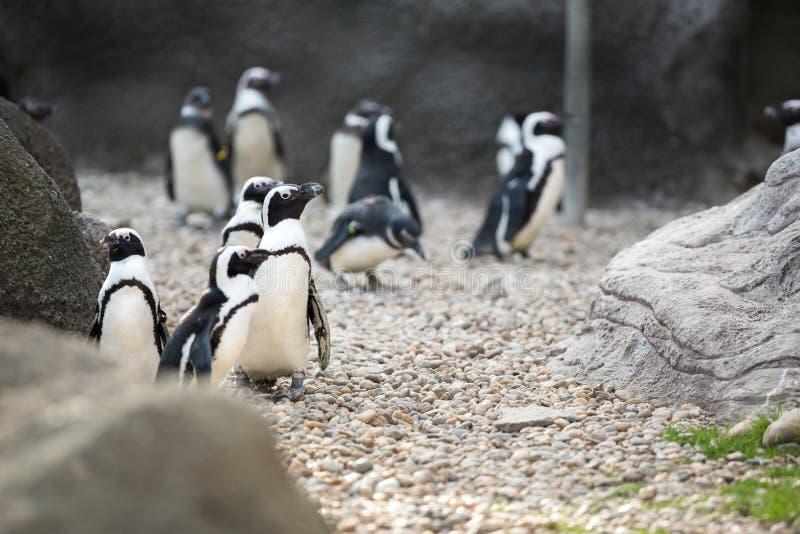 Koloni av Magellan pingvin royaltyfri foto