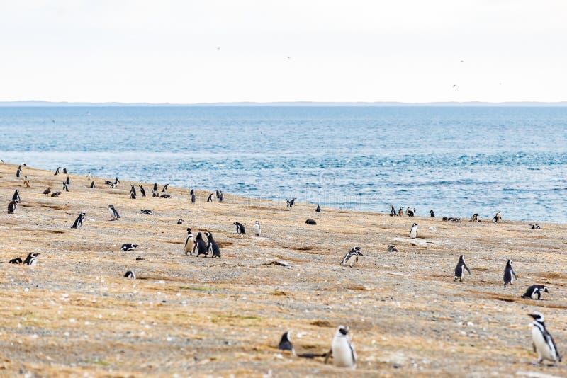 Koloni av magellanic pingvin på den Magdalena ön, kanal av Magellan, Chile royaltyfri foto