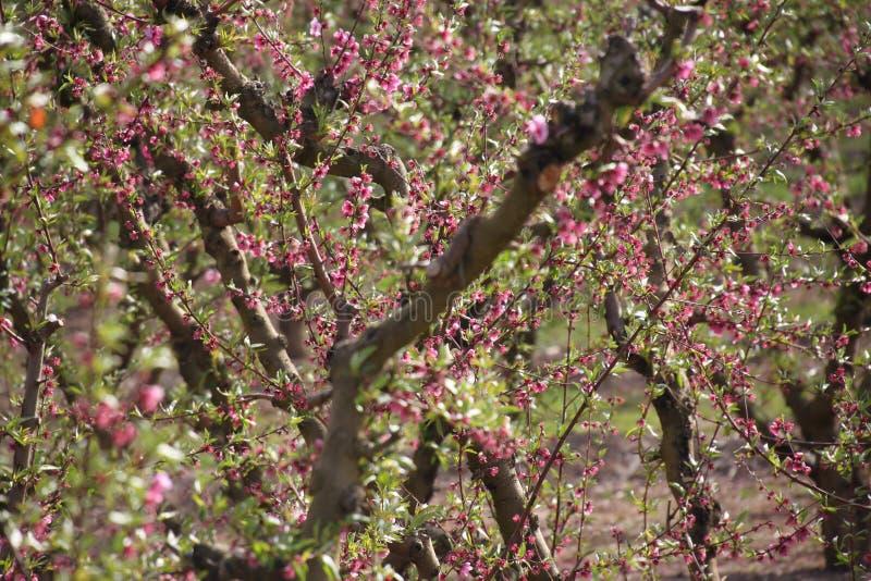 Koloni av persikaträd arkivfoto