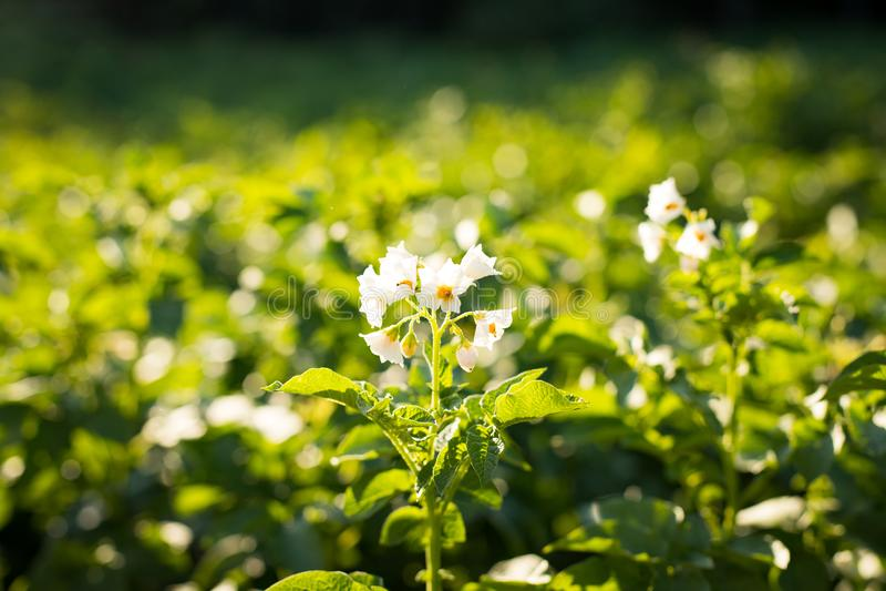 Koloni av potatisväxten som växer på fältpotatisen royaltyfri foto