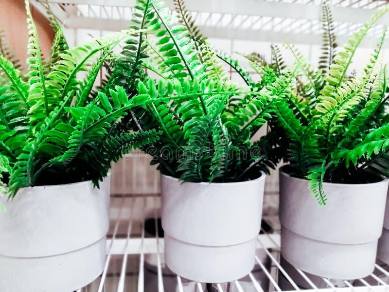 Koloni av rik gräsplan för grön hem- ormbunke som hemma växer i en kruka år-runda blomma tre vita krukor med ormbunken royaltyfria foton