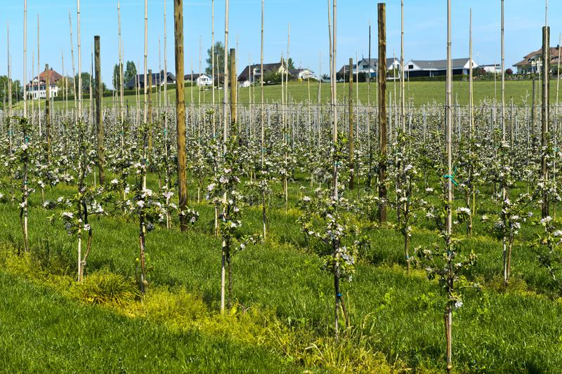 Koloni för Apple träd med unga träd royaltyfria foton