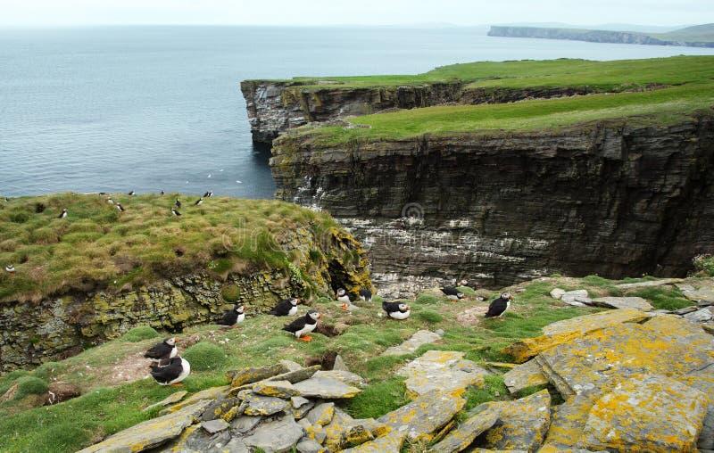 Koloni för atlantisk lunnefågel i den Noss ön, UK royaltyfri bild