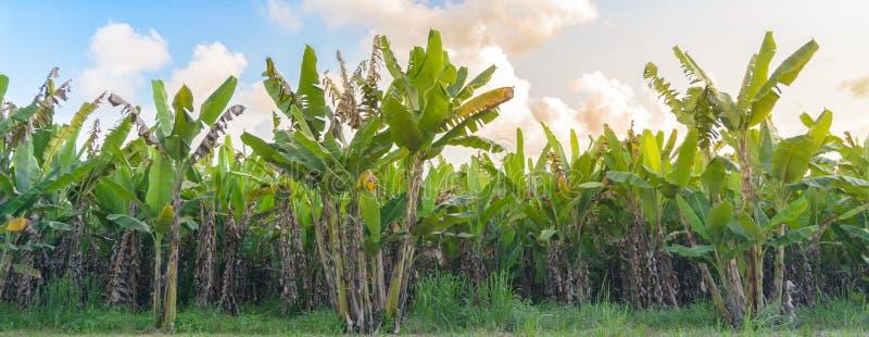 Koloni för bananträd med solsken royaltyfria bilder