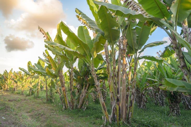 Koloni för bananträd med solsken royaltyfri bild