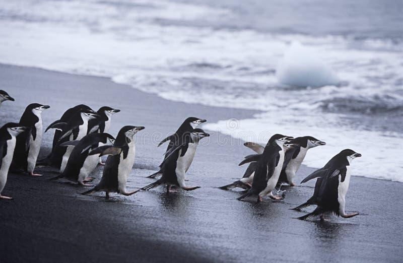 Koloni för Chinstrap pingvin som (Pygoscelisantarcticus) går in i havet arkivbilder