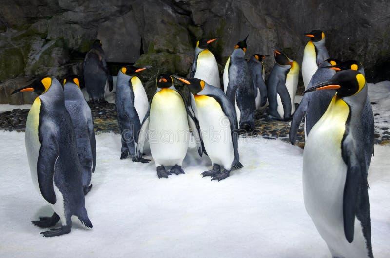 Koloni för konung Penguin arkivfoto