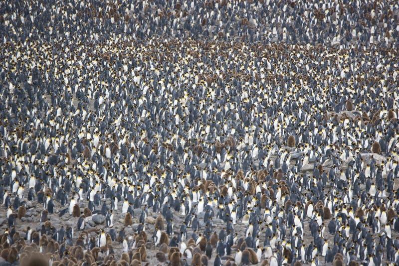 koloni królewiątka pingwin obrazy stock