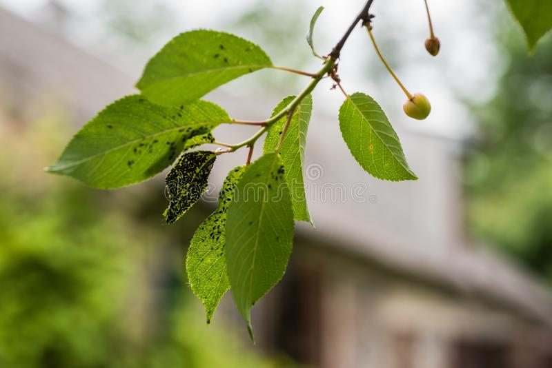 Koloni på blackflies royaltyfri bild