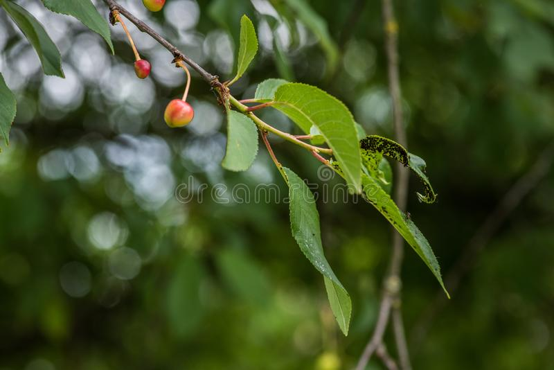 Koloni på blackflies arkivfoton