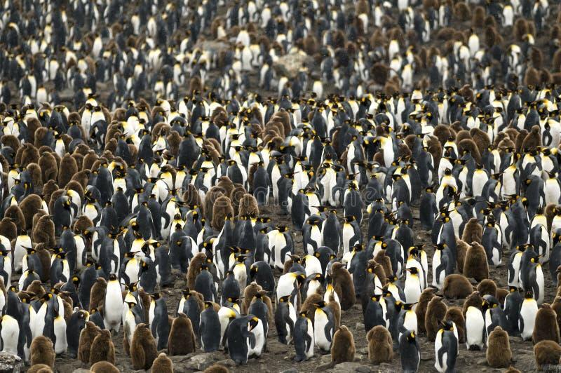 koloni zatłoczonego królewiątka wielki pingwinu rookery obrazy royalty free