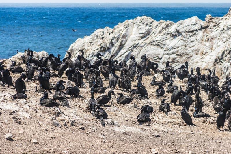 Kolonia Brandt ` s kormorany obrazy royalty free