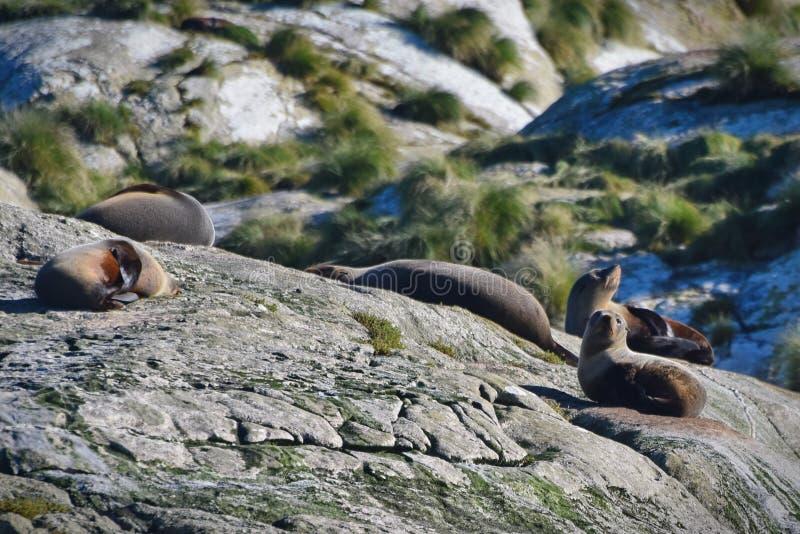 Kolonia dzikie Nowa Zelandia futerkowe foki na wyspie przy Wątpliwym dźwiękiem w Nowa Zelandia obraz stock