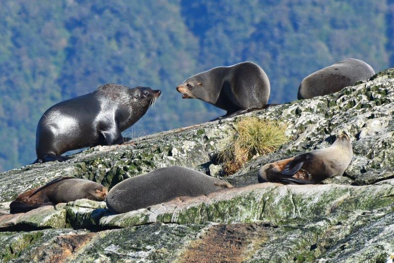 Kolonia dzikie Nowa Zelandia futerkowe foki na wyspie przy Wątpliwym dźwiękiem w Nowa Zelandia obrazy royalty free
