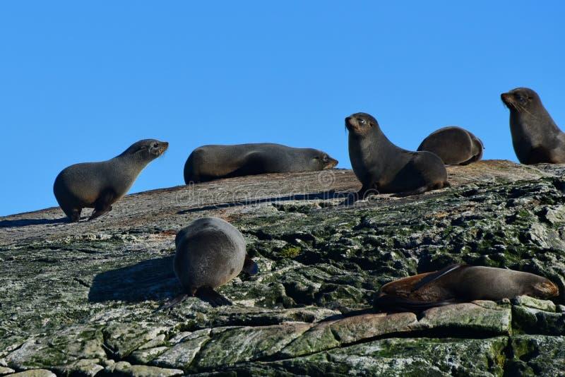 Kolonia dzikie Nowa Zelandia futerkowe foki przy Wątpliwym dźwiękiem, Nowa Zelandia zdjęcia stock