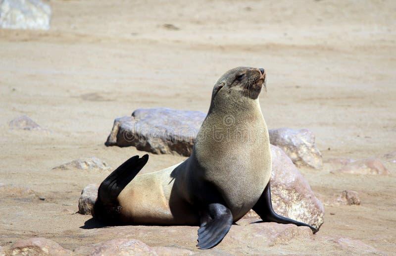 Kolonia foki przy przylądka krzyża rezerwą, Atlantycki oceanu wybrzeże obrazy royalty free