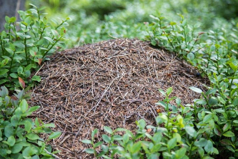 Kolonia mrówki lub anthill w lesie, Austria obraz royalty free