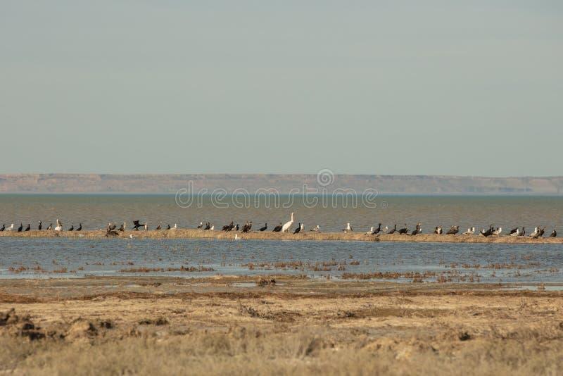 Kolonia pelikany kaczki i frajery cieszy się popołudniowego słońce na piaskowatej wyspie w Aral morzu zdjęcie stock
