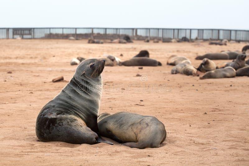 Kolonia Słyszące Brown Futerkowe foki przy przylądka krzyżem, Namibia, Południowa Afryka, zdjęcia royalty free