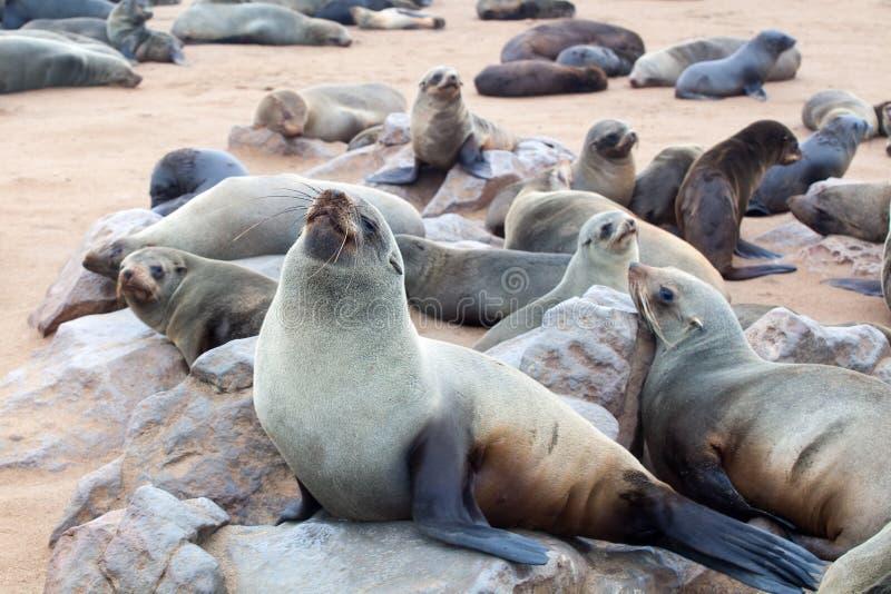 Kolonia Słyszące Brown Futerkowe foki przy przylądka krzyżem, Namibia, Południowa Afryka, zdjęcie stock