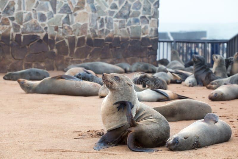 Kolonia Słyszące Brown Futerkowe foki przy przylądka krzyżem, Namibia, Południowa Afryka, zdjęcia stock