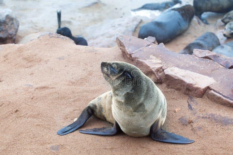 Kolonia Słyszące Brown Futerkowe foki przy przylądka krzyżem, Namibia, Południowa Afryka, fotografia stock