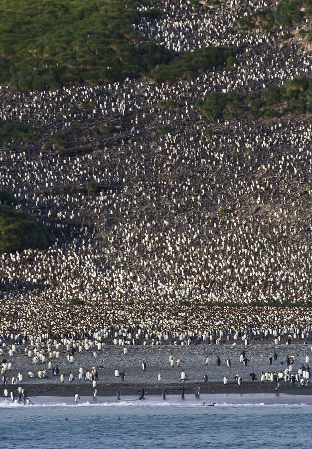 Kolonie de Koningspinguïn, colônia do rei Penguin fotografia de stock royalty free