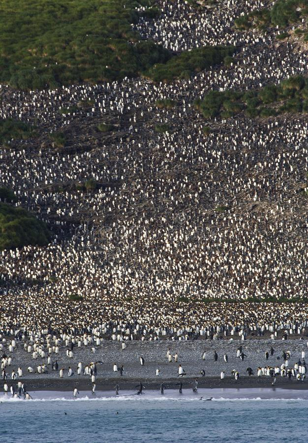 Kolonie de Koningspinguïn, colonie du Roi Penguin photographie stock libre de droits