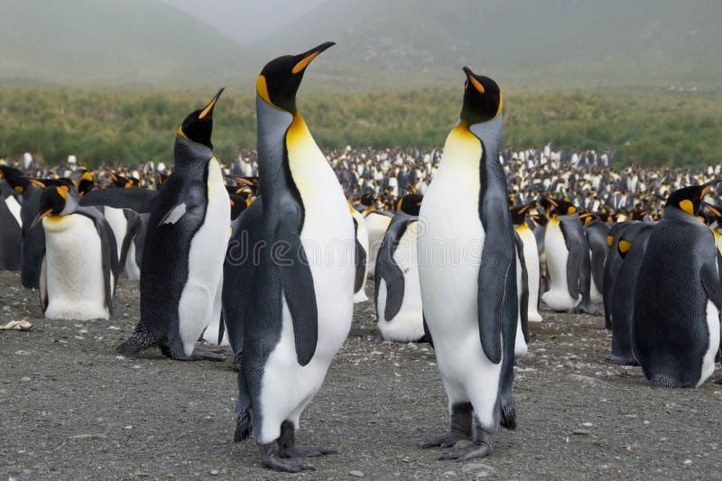 Kolonie der König-Pinguine lizenzfreie stockbilder
