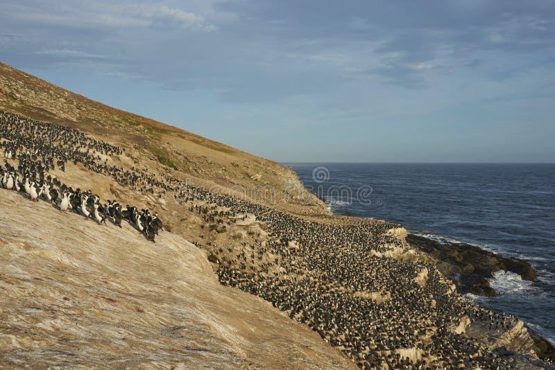 Kolonie der Kaisernoppe von Karkassen-Insel in den Falkland lizenzfreies stockbild
