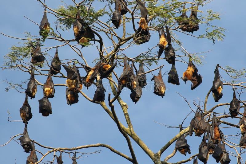 Kolonie des indischen Flughundschlägers, Pteropus, giganteus lizenzfreies stockfoto
