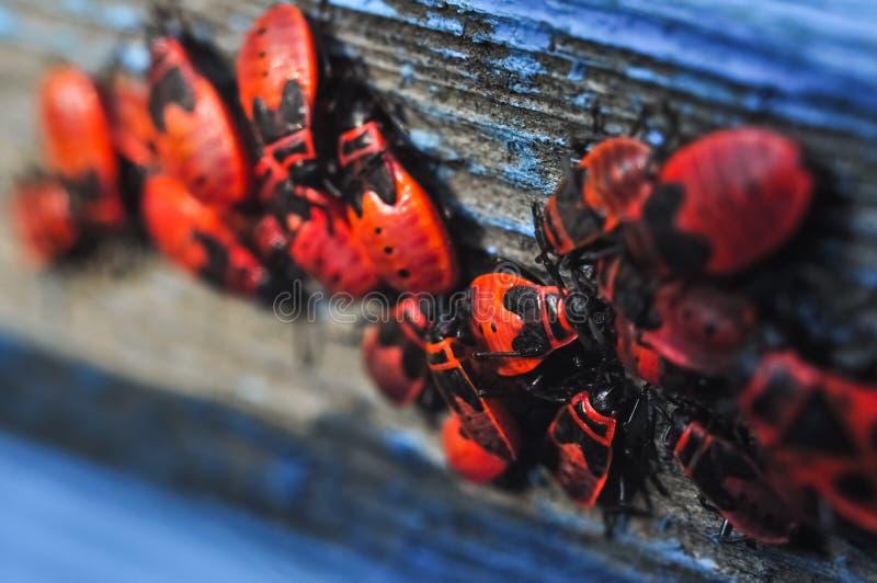 Kolonie des roten Brandstifternahaufnahmemakrofotos lizenzfreie stockfotos