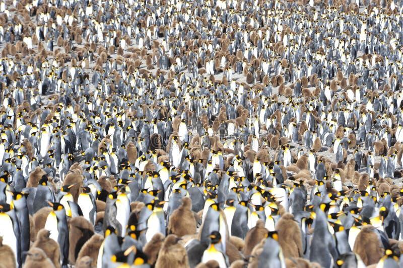 Kolonie Königs Penguin lizenzfreie stockfotos