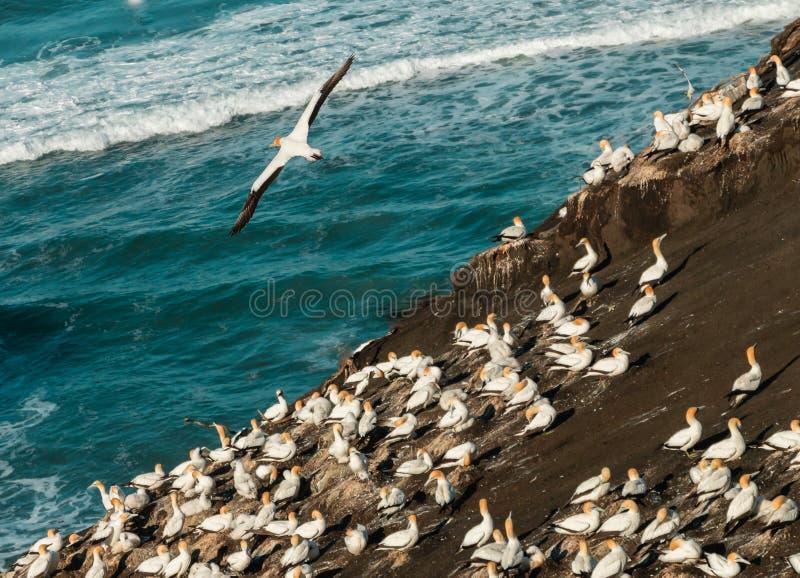 Kolonie Muriwai Gannet, regionaler Park Muriwai, nahe Auckland, Nordinsel, Neuseeland lizenzfreie stockfotografie