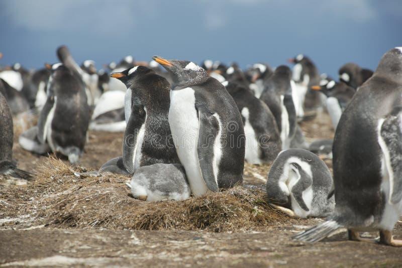 Kolonie van Gentoo-pinguïnen in Falkland Islands stock afbeelding