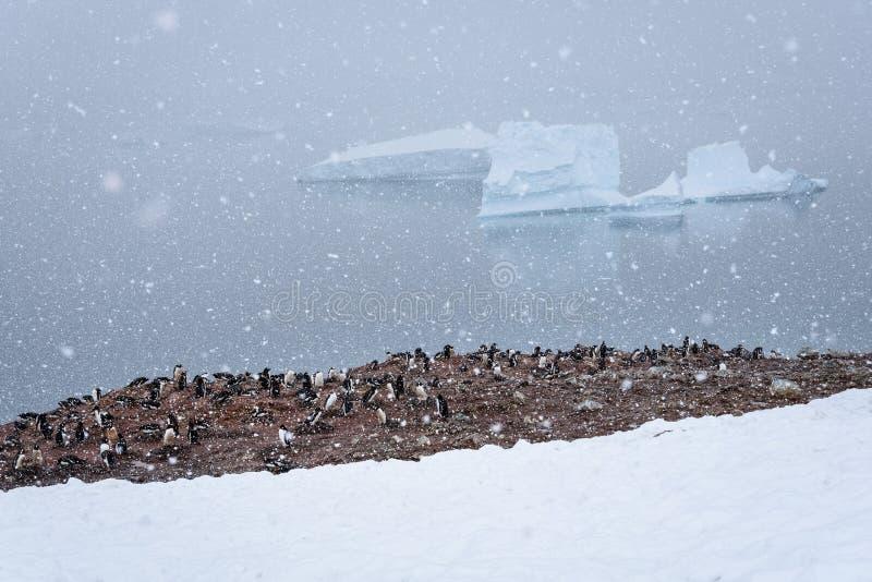 Kolonie van Gentoo-pinguïnen op een modderig die gebied door snowfield wordt omringd, die hard natte zware sneeuw, water en ijsb royalty-vrije stock fotografie