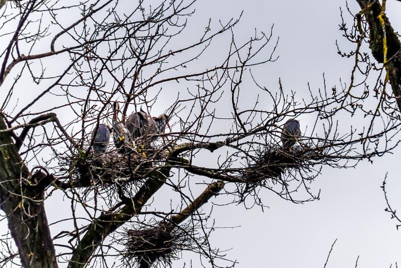 Kolonie van Grote Blauwe Reigers die dichtbij Chilliwack in mooi Brits C zitten royalty-vrije stock afbeelding
