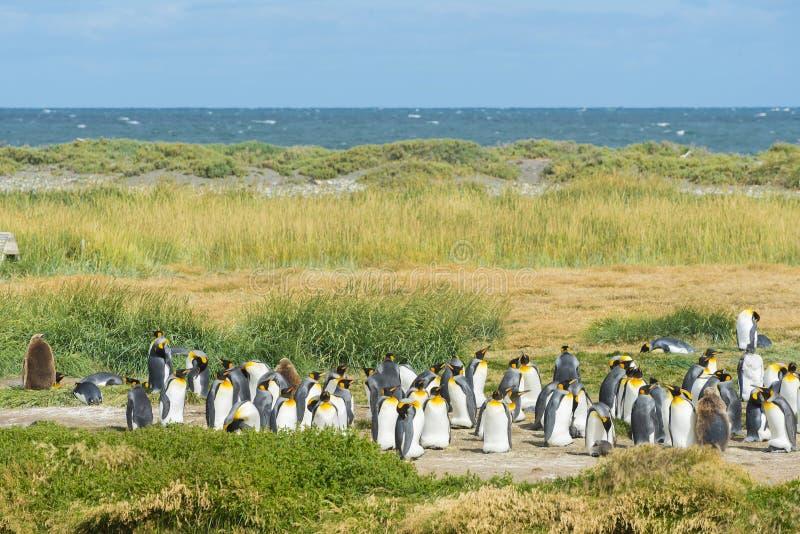 Kolonie van koningspinguïnen in Tierra el Fuego in Chili stock foto's