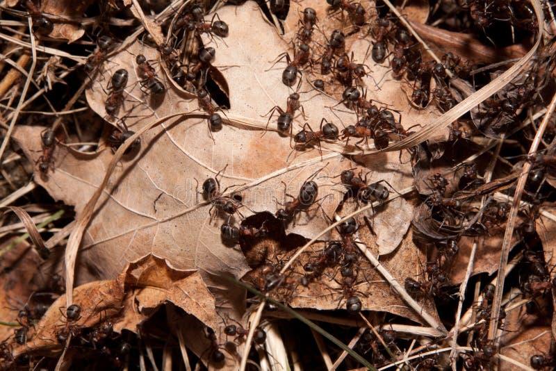 Kolonie van mieren royalty-vrije stock afbeelding