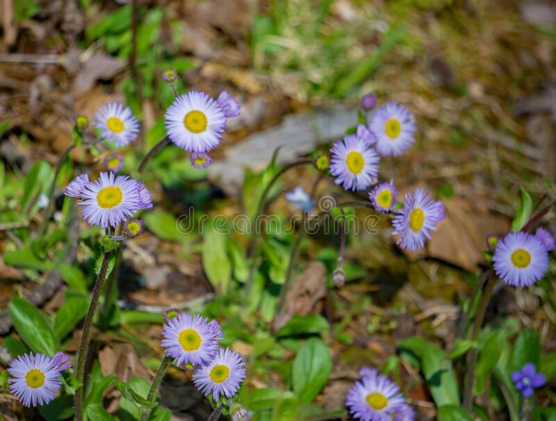 Kolonie van New England Asters, Symphyotrichum novea-angliea stock foto's