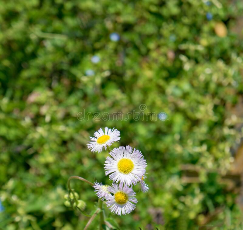 Kolonie van New England Asters, Symphyotrichum novea-angliea royalty-vrije stock fotografie