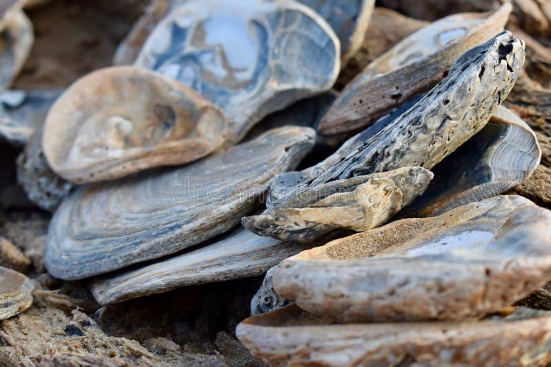Kolonie van Overzeese Shells bij de Baai van Swansea royalty-vrije stock foto