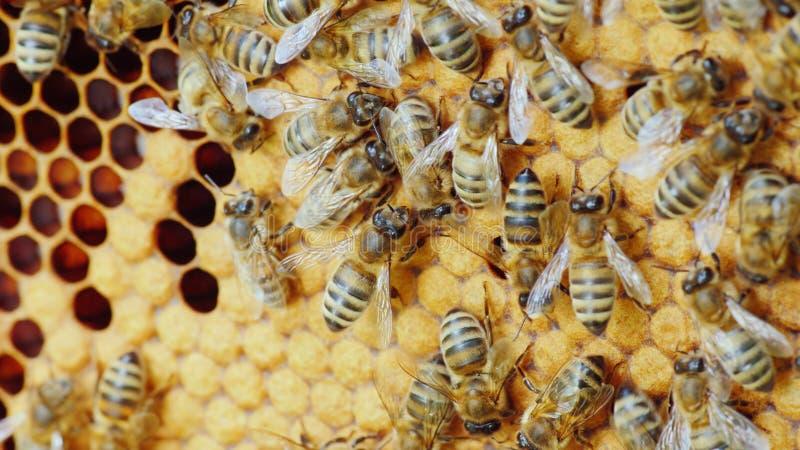 Kolonie von den Bienen, die in einem Bienenstock arbeiten lizenzfreies stockbild