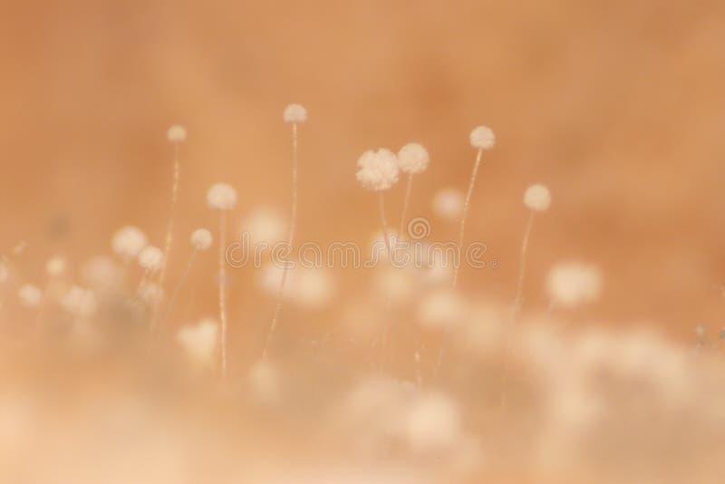 Kolonie von Eigenschaften der pilzartigen Form in der Kulturmediumplatte von der Labormikrobiologie lizenzfreie stockbilder