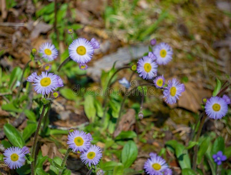 Kolonie von New England Asters, Symphyotrichum novea-angliea stockfotos
