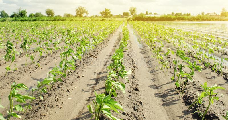 Kolonier av peppar v?xer i f?ltet gr?nsakrader Lantbruk jordbruk Landskap med jordbruks- land kantjusteringar Ukraina, arkivbilder
