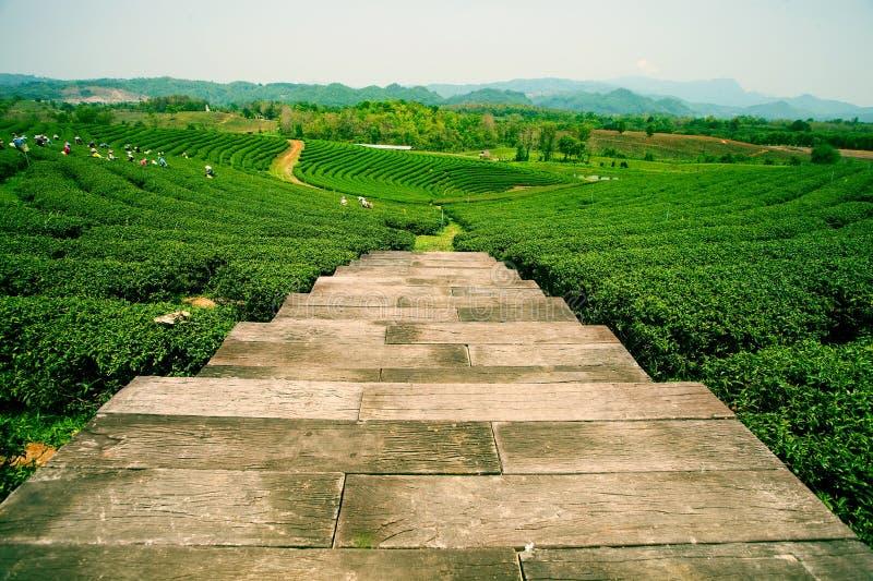 Kolonier av te i Mae Salong Valley Nordliga Thailand royaltyfria bilder