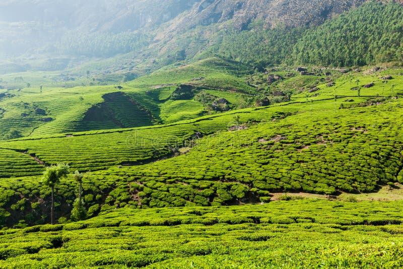 Kolonier för grönt te i Munnar, Kerala, Indien arkivfoto